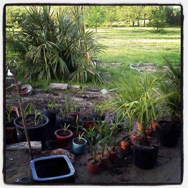 Plott Palm Tree - Baby Plott Palm Trees & Seedlings