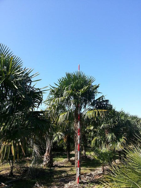 Plott Palm Trees