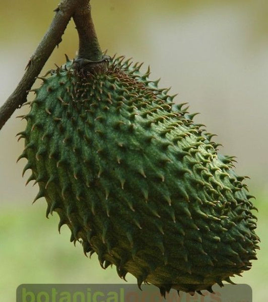 TheKazweh.Com - #1 Soursop – Graviola Extract Droppers