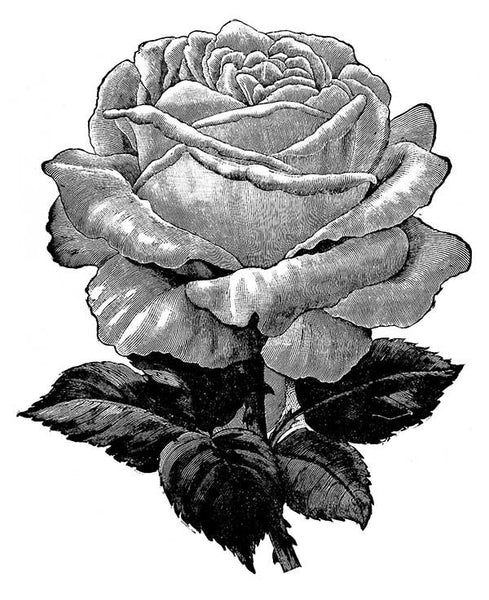 Free Graphic Friday - Vintage Rose Engraving