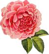 Free Graphic Friday - Vintage Cabbage Rose