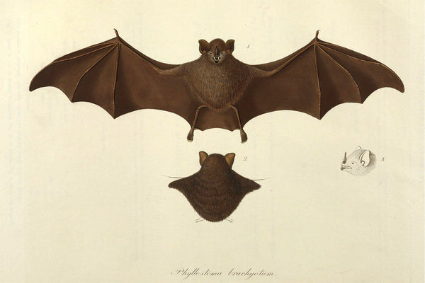 Free Antique Bat Printable Graphic