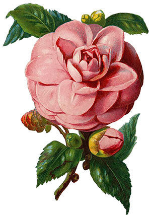Free Vintage Pink Rose Graphic : .PNG and Vector