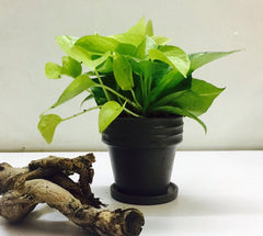 Money plant in Chennai for online sale