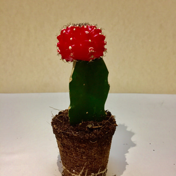 Completely new Moon Cactus Plants – Plant nursery in Chennai with best online sales GR11