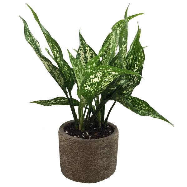 Agleonema Snowflakes also known as Chinese evergreen online sales