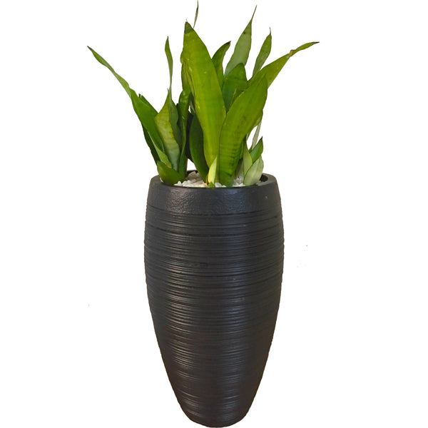 Air purifying snake plant in a dull black Planter