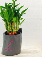 Lucky Bamboo in a nature planter