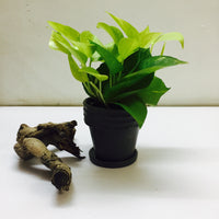 Money plant ( golden pothos)  in a ceramic pot
