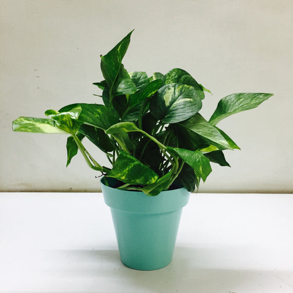 Money Plant Gold King in a Options fun color planters