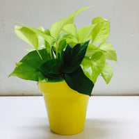 Air purifying Golden Money Plant  in a options fun color planters