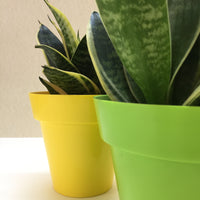 Sansevieria twin offer