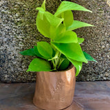 Air purifying golden money plant neon pothos