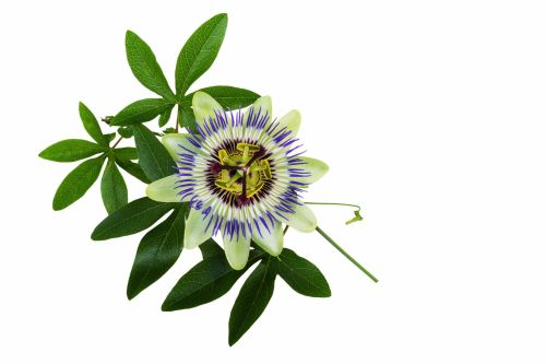 PASSIFLORA VINE (purple)