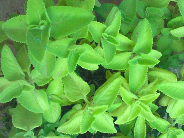 Carom (Ajwain) plant in a pot