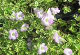 asytasia gangetica( chinese violet or wild petunia)