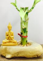 lucky bamboo with golden buddha
