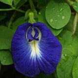 Clitoria Ternatea commonly known as the sangu poo, Butterfly pea and bluebell vine.