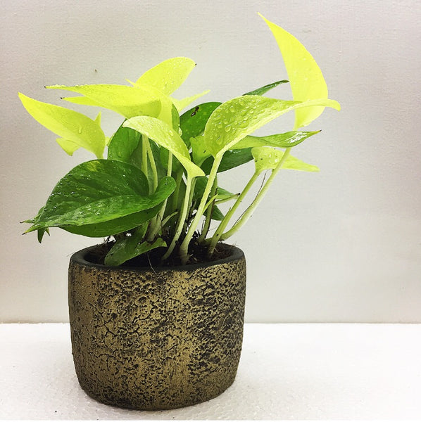 Neon Pothos in hand made planter