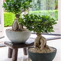 Bonsai Plant for online sale in Chennai