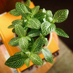 Fittonia the nerve plant