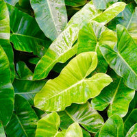PHILODENDRON ARROWHEAD LEAF