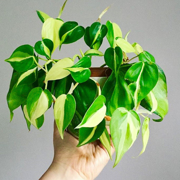 Philodendron Brasil an Oxygen plant