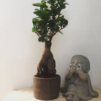 Ficus Bonsai in Chennai For online sale