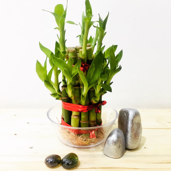 lucky bamboo plant for online sale in Chennai nursery