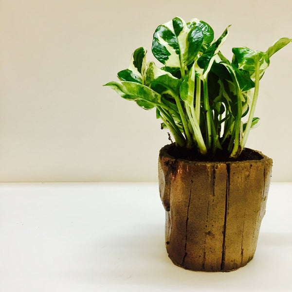 Indoor N'Joy Money Plant in a log planter perfect gift for any occasion.