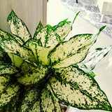 Aglaonema Snow White