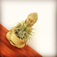 Air Plants with Buddha base