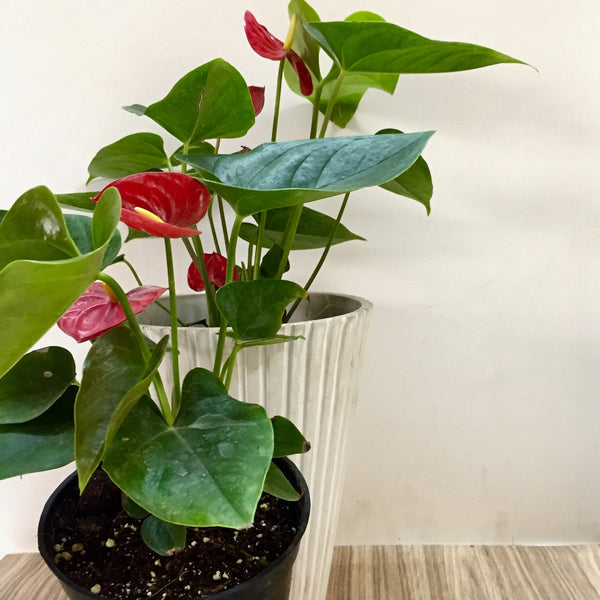 Red Anthurium The Plant Shop Plant Nursery In Chennai