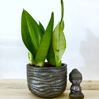 Air purifier snake plant