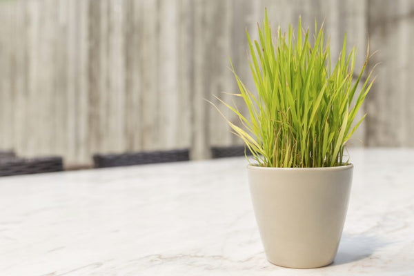 Lemon Grass Plant in a pot