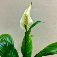 Spathiphyllum-Peace Lily