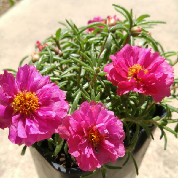 Portulaca  (11'o clock) with variants.
