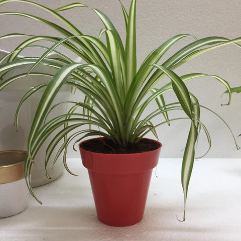 spider plant in chennai for online sale