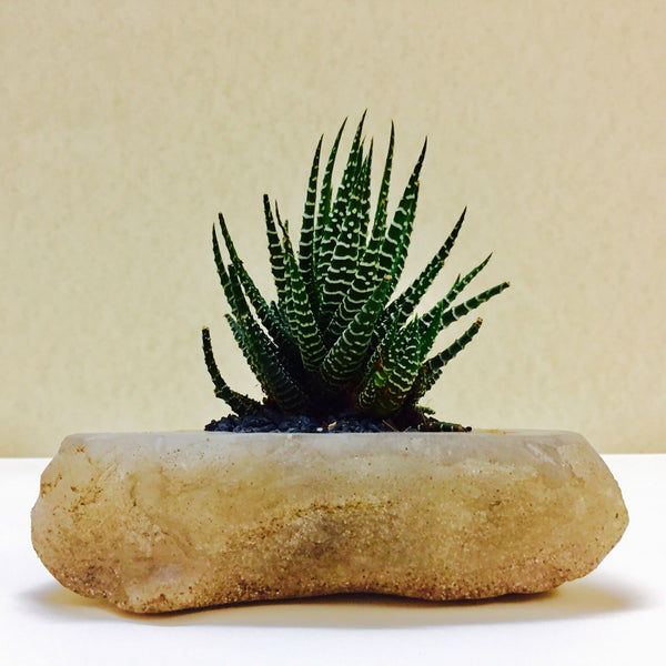 Haworthia in a rock base