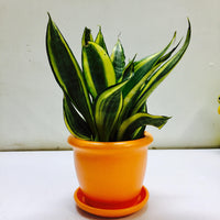 Air purifying snake plant in a ceramic pot
