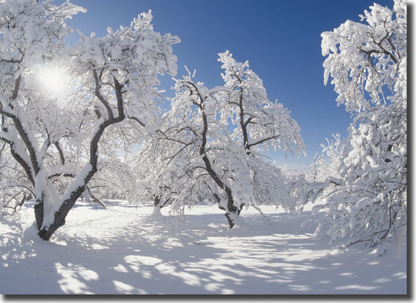 "<p style=""color:grey"">Apple Orchard in Snow<p style=""color_gold"">Ref: KC19"