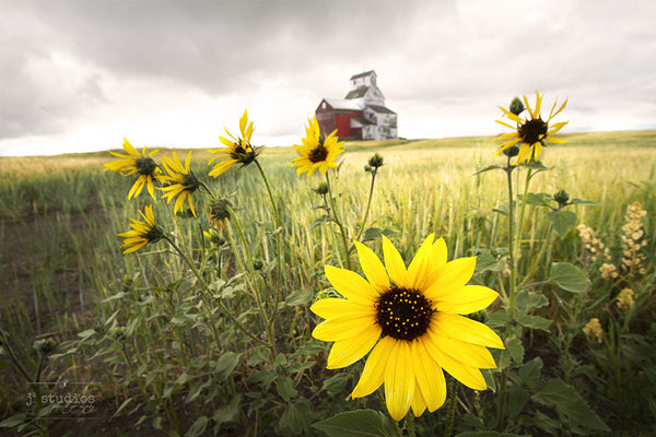 Dreamy uplifting image of bright, happy goldenrod yellow sunflower brightening up the Alberta prairies on a cloudy day. Landscape Photography. Home decor by J2 studios.