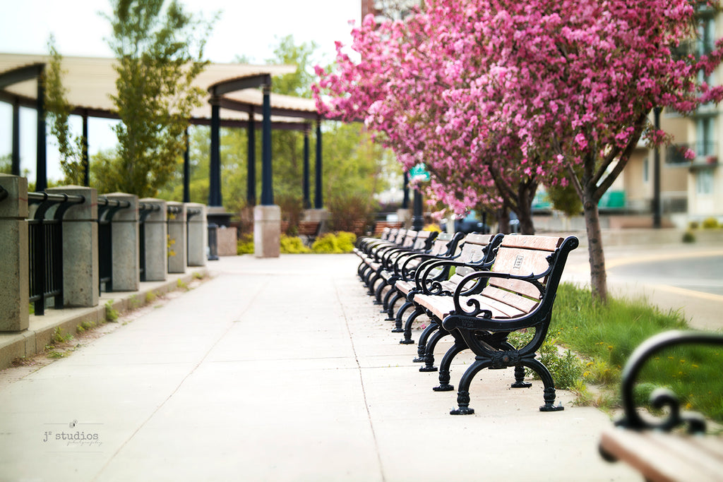 Image of Victoria Promenade in Downtown Edmonton lined with Park Benches, Pink flowering trees and walking paths for cyclists and walkers. Urban life in YEG.