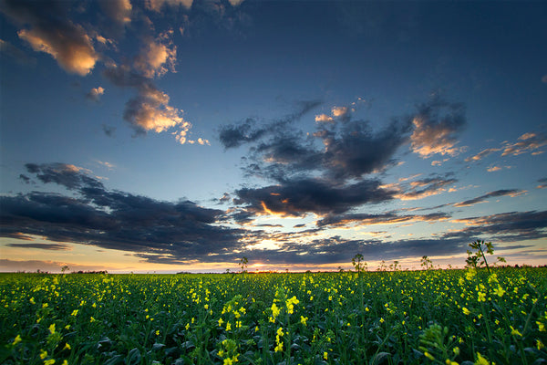A big field of canola under the twilight summer Alberta skies. Summer in the Canadian Prairies by Edmonton based photographer Larry Jang
