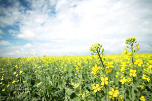 Intimate image of blooming canola flower in a field of harmony. Golden yellow color that is identifies closely with Alberta summers. Iconic Canada photography.