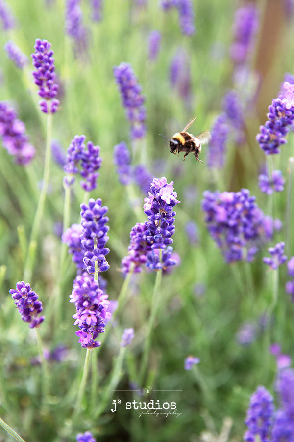 Image of a busy honeybee pollinating a head of lavender flower blooms in Norfolk Lavender in England. Floral Photography.