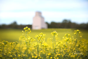 Intimate image of Canola with a glimpse of a grain elevator in the background. Soft and supple prairie photography and imagery.