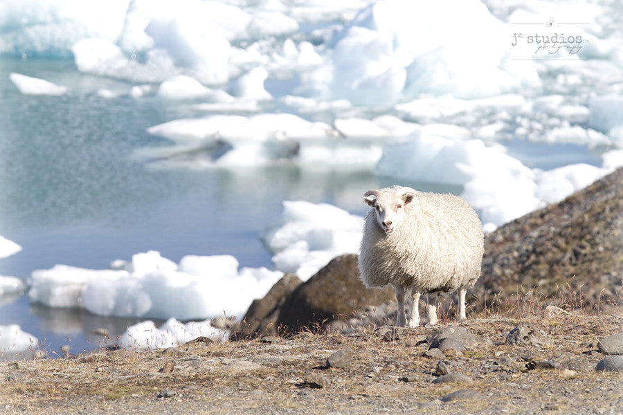 Grazing by the Icebergs is an image of an Icelandic sheep pausing between bites to pose.