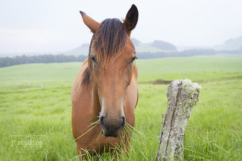 Grazing is an image of horse chewing on strands of grass in Hawaii. Animal photography.