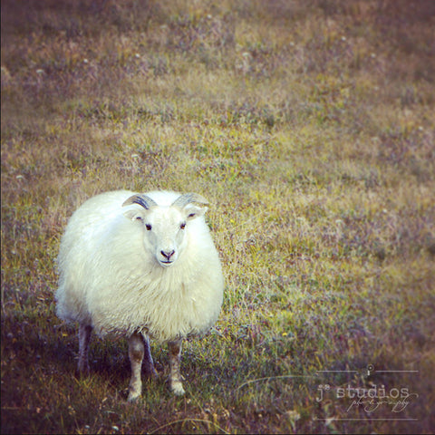 Hello, I'm Cute - Icelandic Sheep Nature Art Photography Print